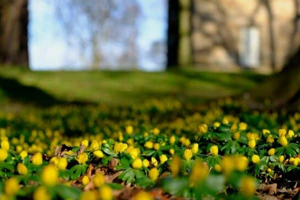 Yellow winter aconites