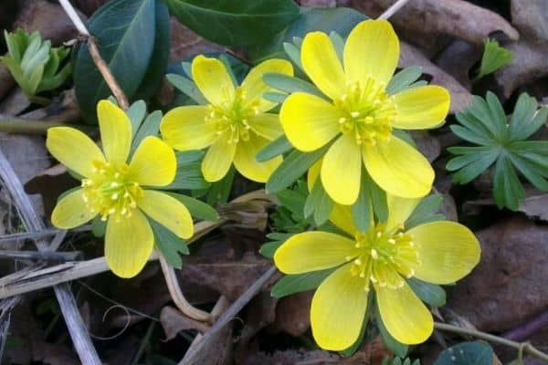 winter aconite flowers