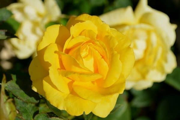 Yellow flowering rose