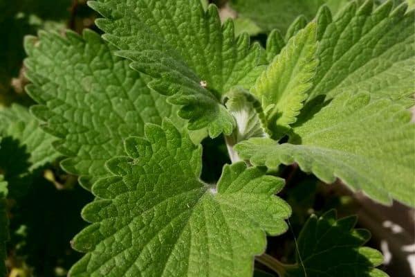 Catnip in an herb garden