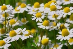 12 Perennial Herbs For Your Herb Garden