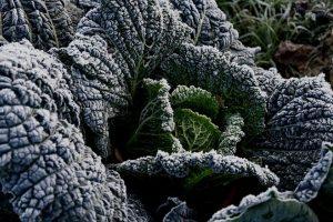15 Frost Tolerant Vegetable Plants