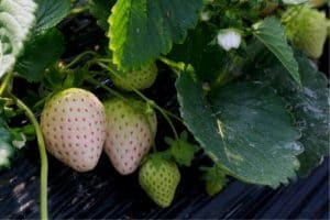 How To Grow White Strawberries (Pineberries)