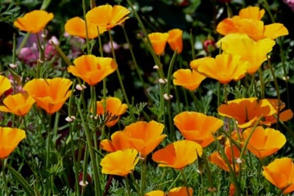 Orange perennial flowers