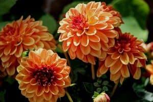 15 Orange Perennial Flowers