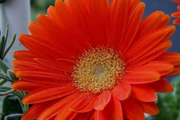 full sun flower for container