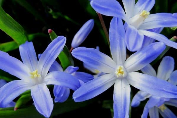 Blue star hyacinth