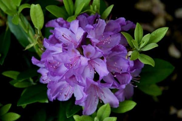 purple shrub