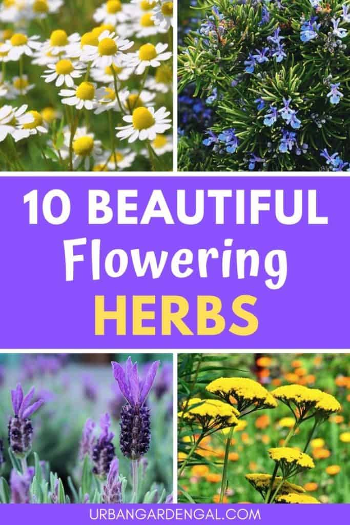 Beautiful flowering herbs