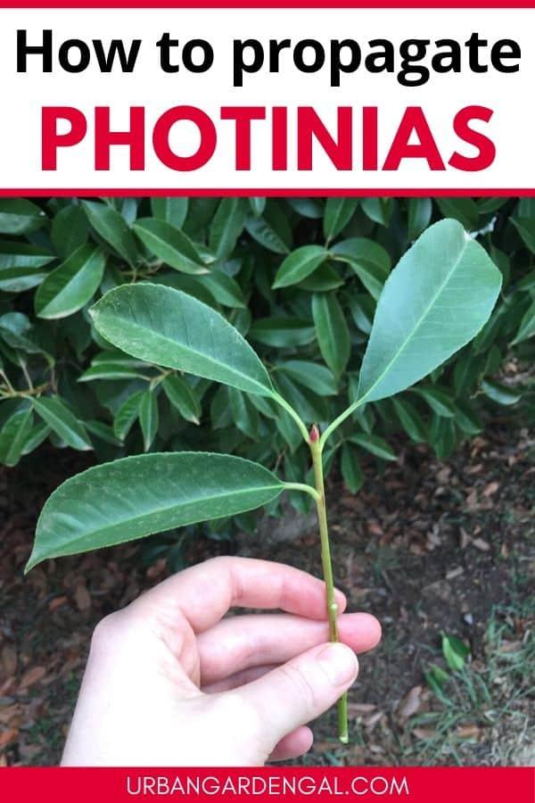 how to propagate photinia plants