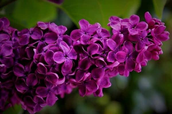 purple lilac shrub
