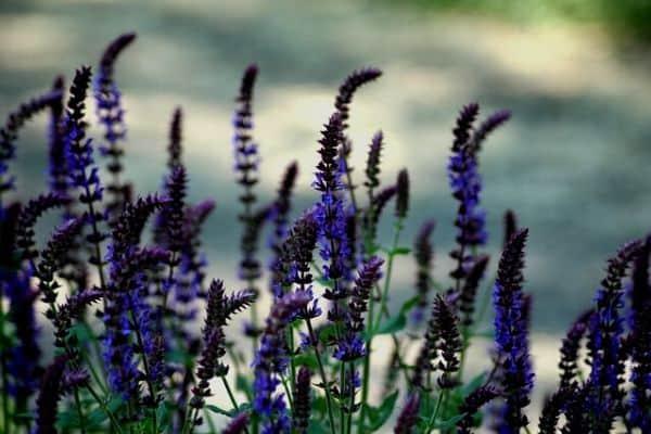 flowering herb plants