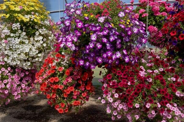 Trailing annual flowers in hanging baskets