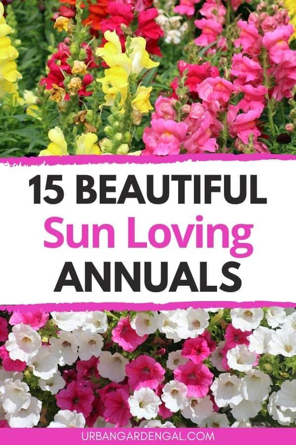 sun loving annual flowers