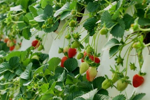 vertical strawberry plants