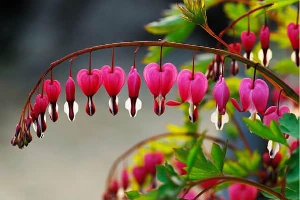 growing bleeding heart flowers