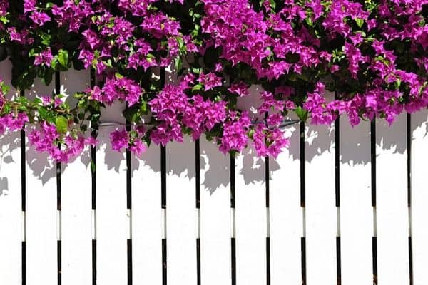 bougainvillea plant on fence