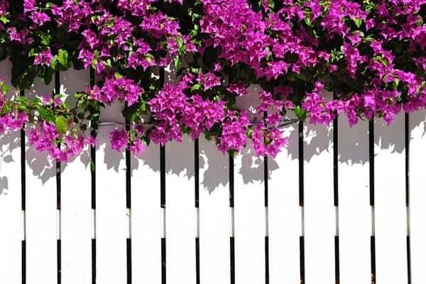 bougainvillea plant on fence