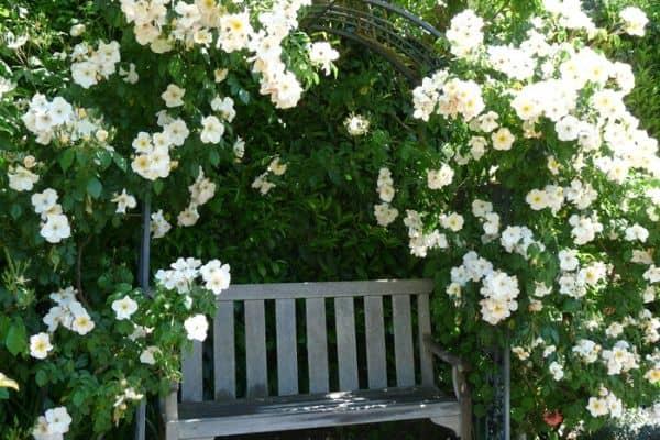 climbing rose on arch