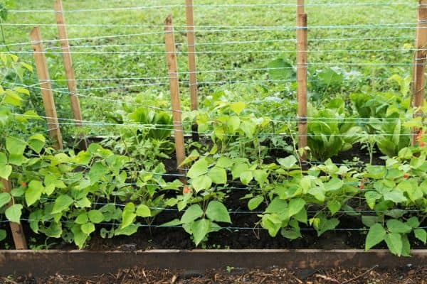 climbing vegetable plants on a trellis