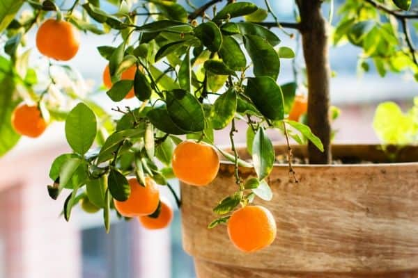 citrus fruit tree in pot