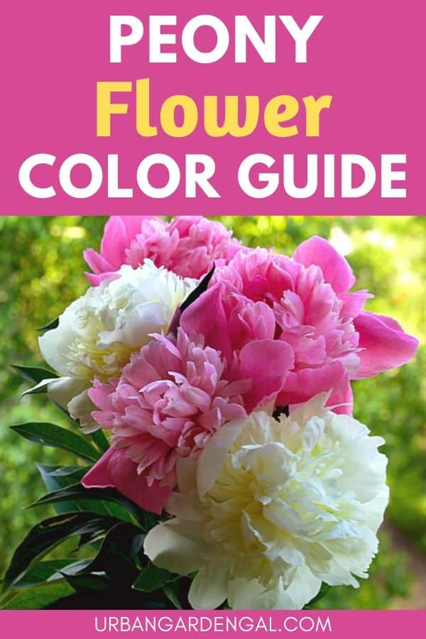 peony flower color guide