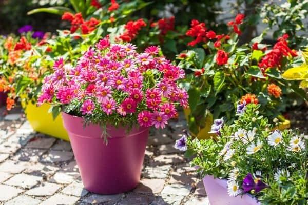 full sun container flowers