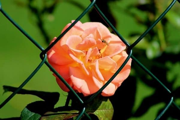 wire garden fence with rose