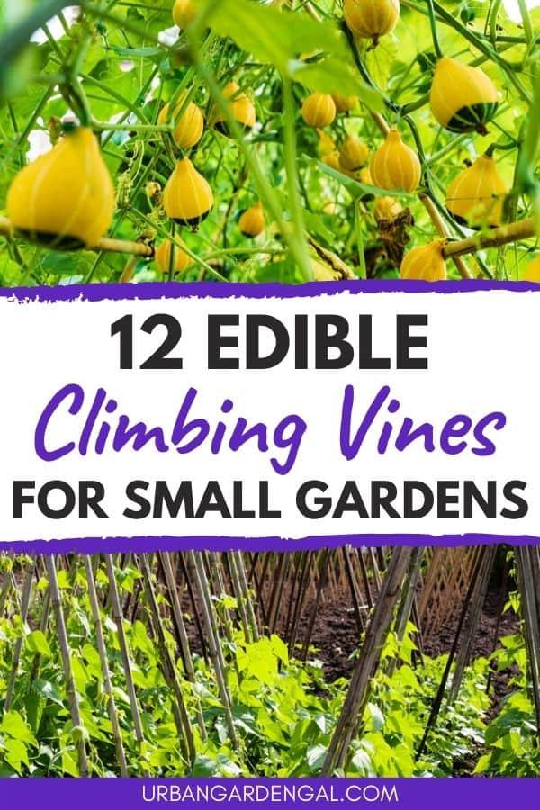 edible climbing vines