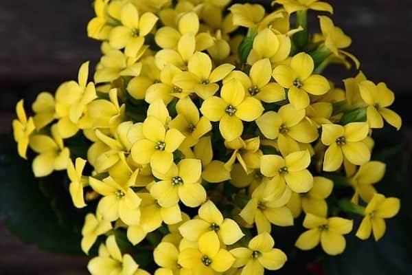 yellow kalanchoe plant