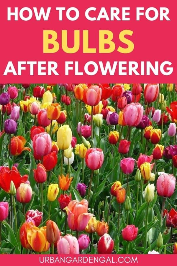 caring for bulbs after flowering
