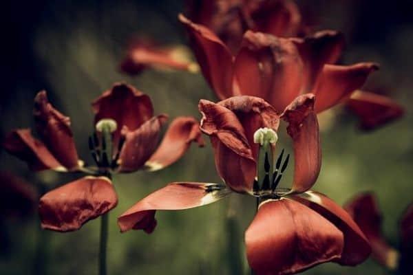 caring for flower bulbs