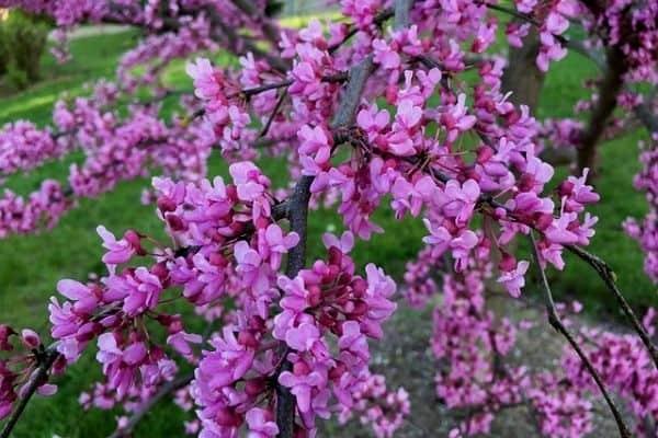 pink redbud tree