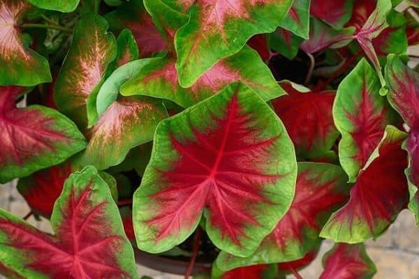 red caladium plant