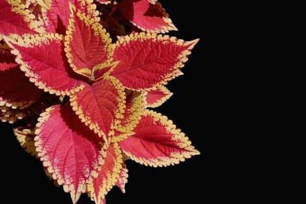 red coleus plant