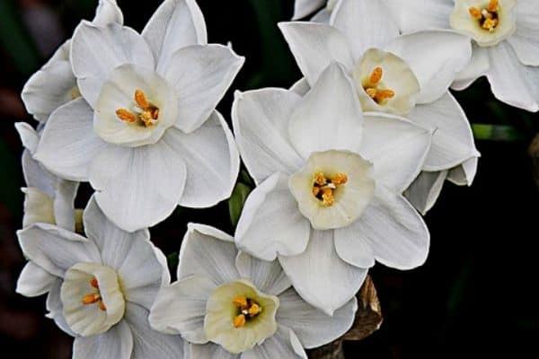 paperwhite flowers in winter