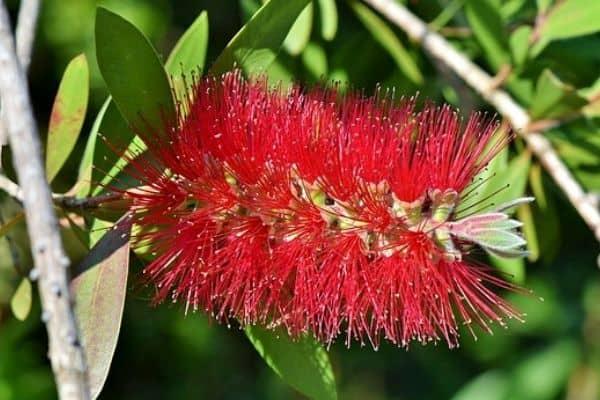 red bottlebrush shrub