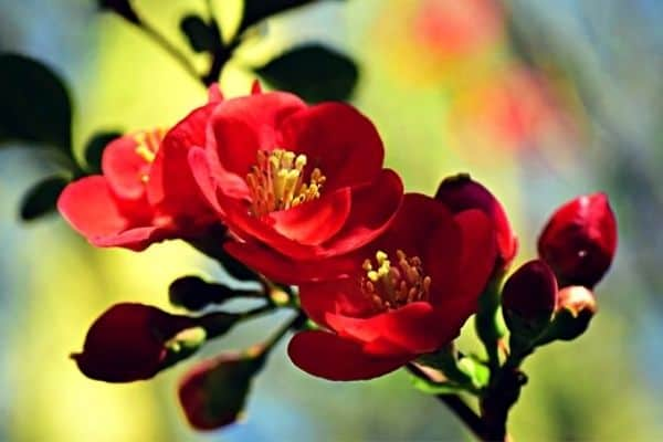 red flowering quince shrub