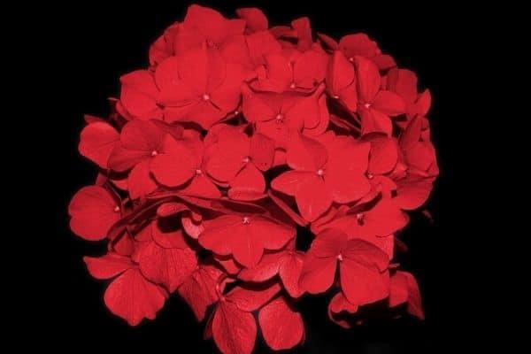 red hydrangea flowers