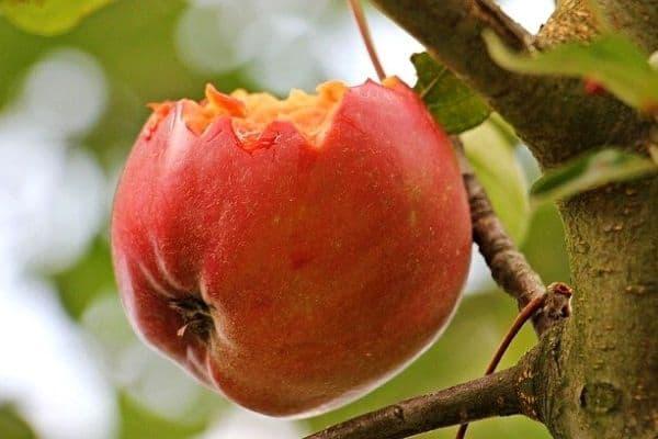 apple eaten by bird