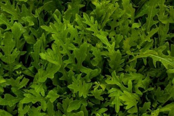 arugula growing indoors
