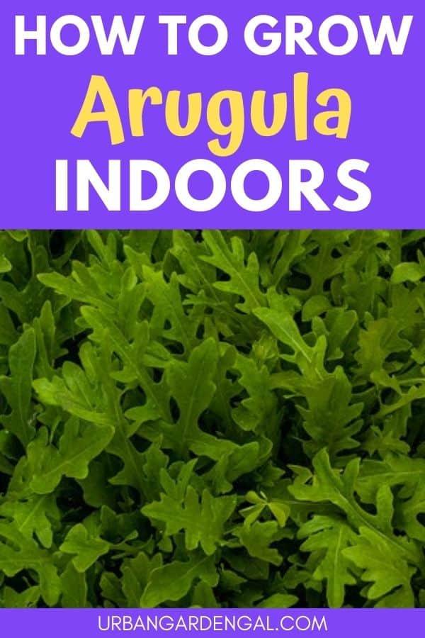 grow arugula indoors