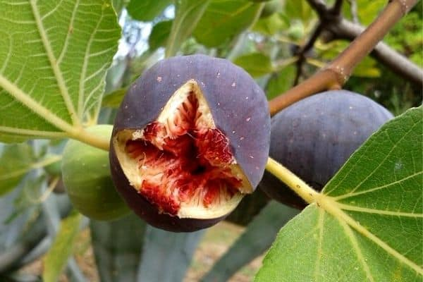split fig on tree