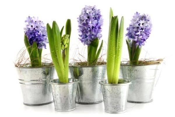 hyacinths growing indoors