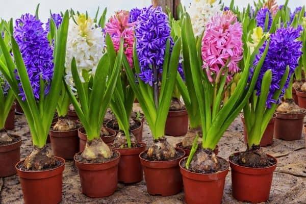 hyacinth flowers in pots