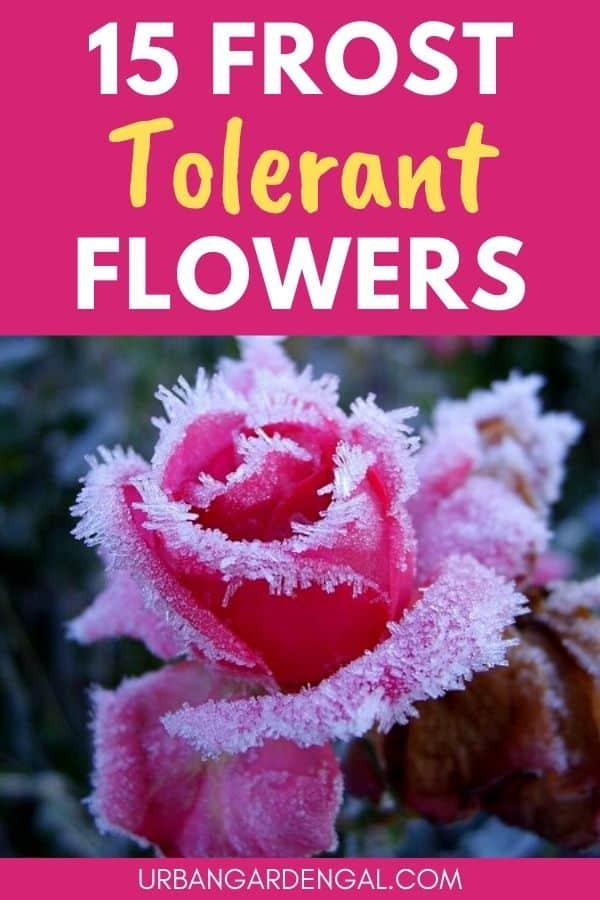 frost hardy flowers