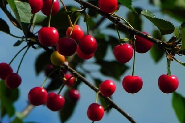 cool climate fruit tree