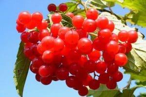 12 Berry Vines For Backyard Gardens