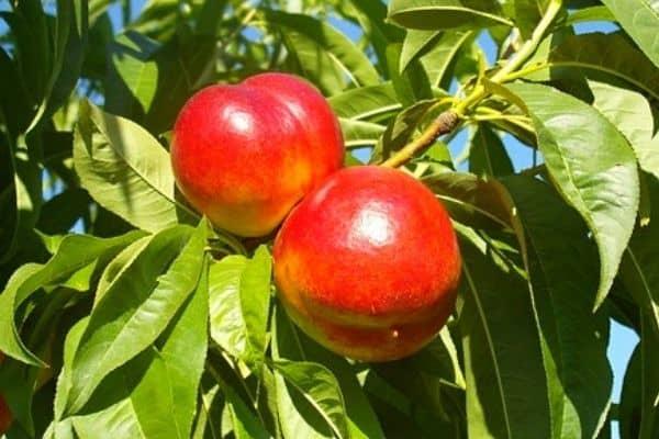 nectarine tree