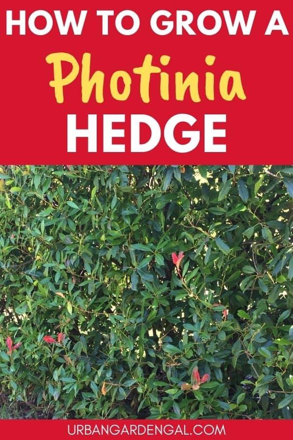 growing a photinia hedge